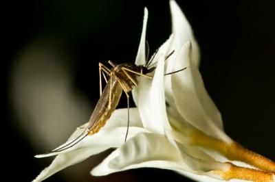 Risques sanitaires Brésil : maladies transmises par les moustiques